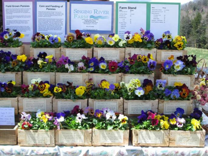 2015 pansy display in boxes